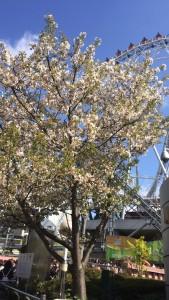 東京ドーム 桜