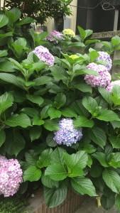 大久保 紫陽花