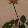 今週の花 バラ続き