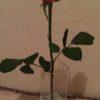 今日買った花は