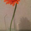 今週の花 ガーベラ 橙